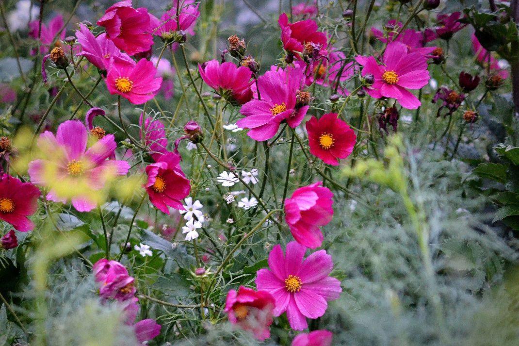 Mängder av rosenskära blommar i rosa en disig dag. Sowing flowers, beautiful pink garden cosmos.