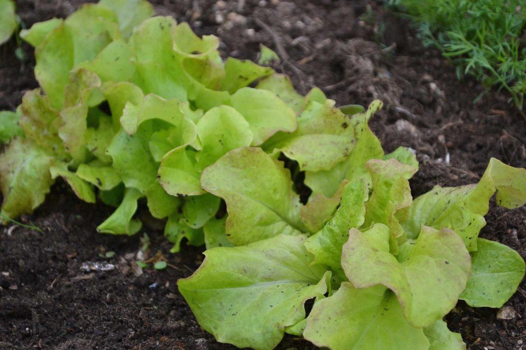 En rad med ljust gröna blad på rad. A row of bright green leaves in my polytunnel beds.