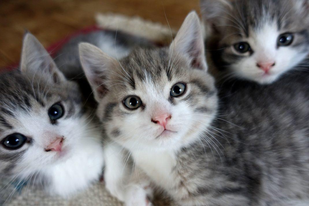 Tre näpna små kattungar i grått och vitt bredvid varandra, alla tittar i kameran. How to housetrain kittens, three little balls of fur.