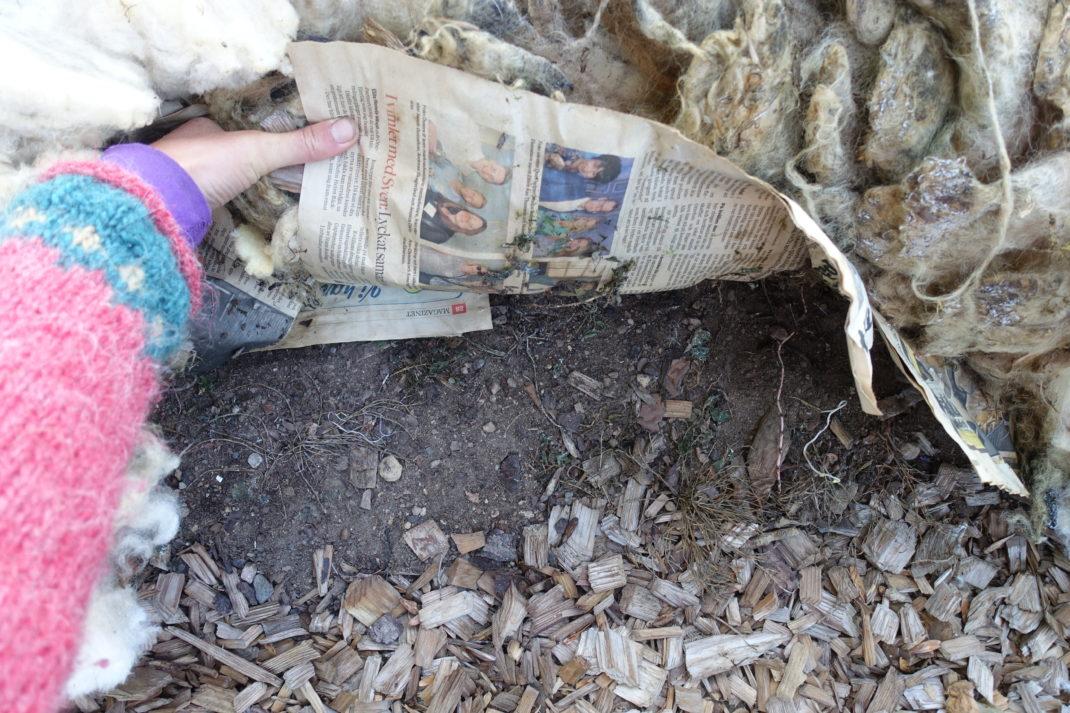 En arm med stickad tröja lyfter upp både tidningar och ull och visar jorden under. Mulching with wool, showng the soil underneath.