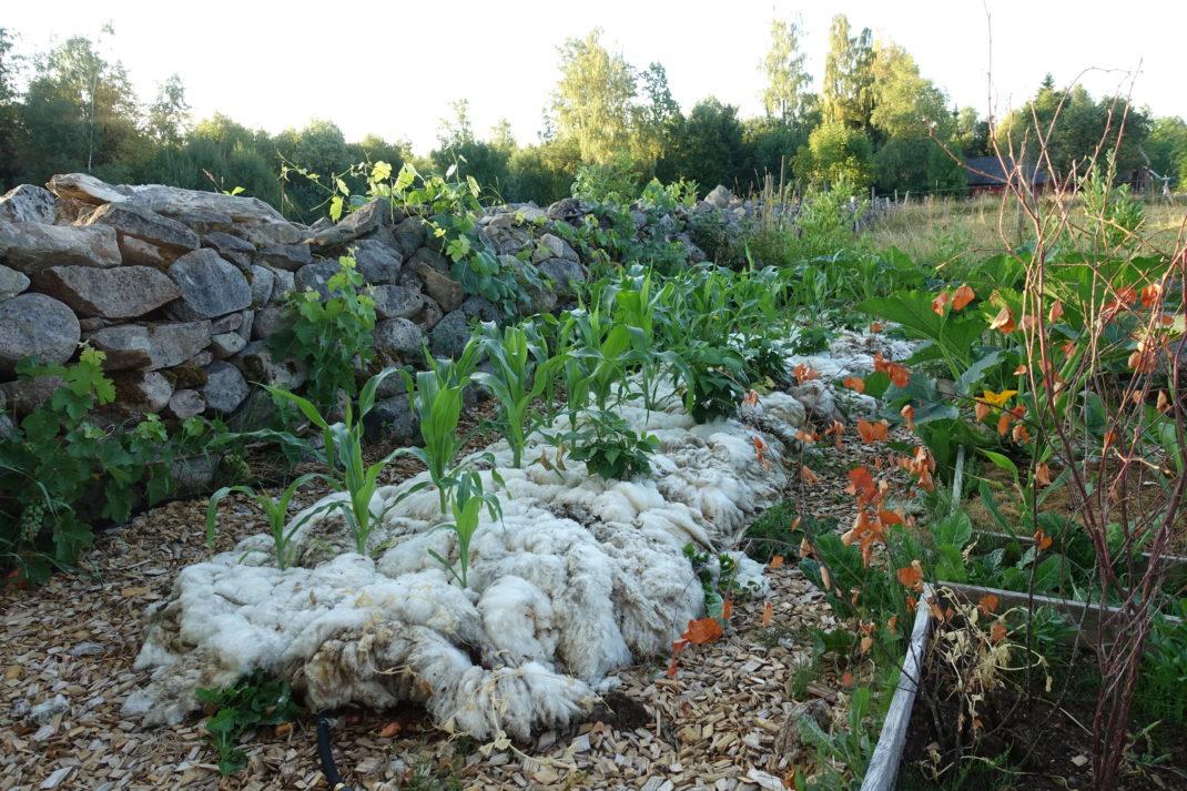 En odlingsbädd täckt med ull vid en stenmur. Mulching with wool, beds by my stone wall.