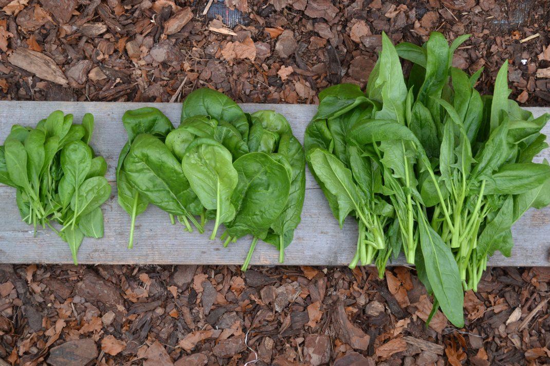 Tre olika typer av spenatblad ligger på en bräda.