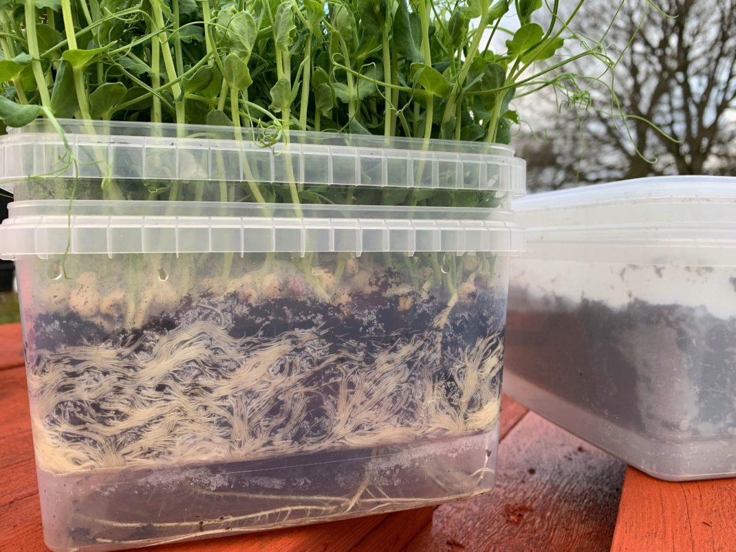 Närbild på en plastlåda med massa rötter inuti och gröna ärtskott upptill. Grow pea shoots indoors.