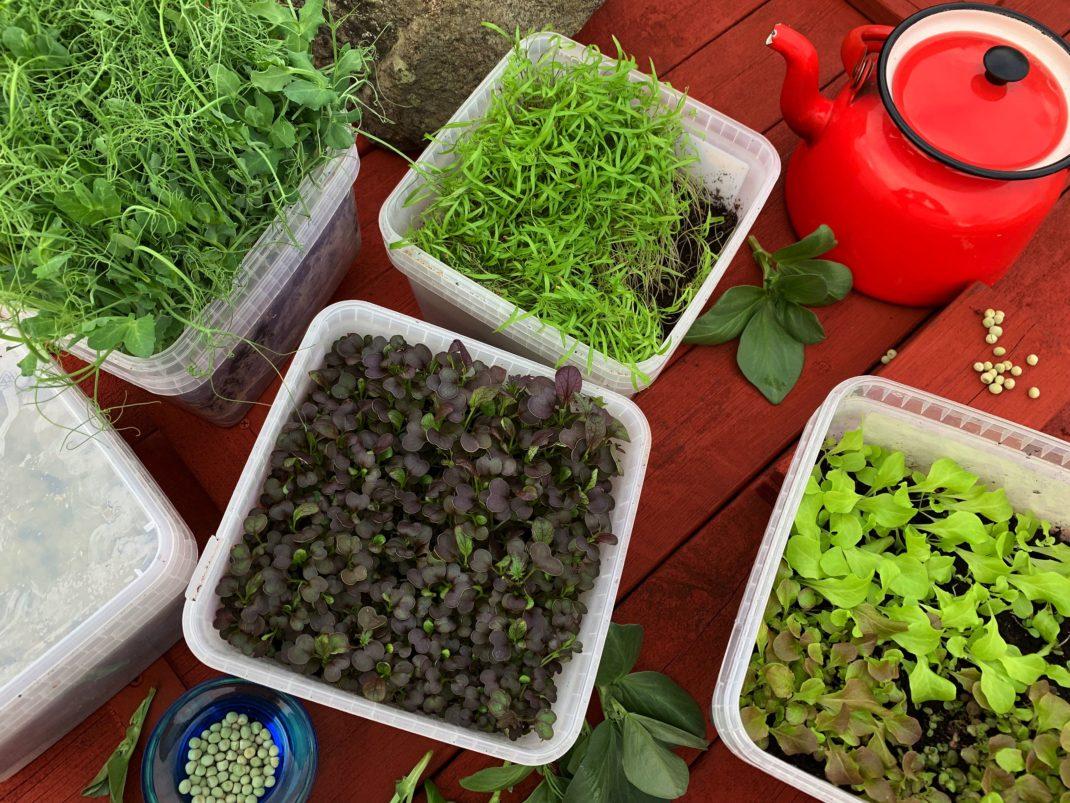 En arrangerad bild med byttor av gröna och röda blad. Grow pea shoots indoors, green and red leaves.