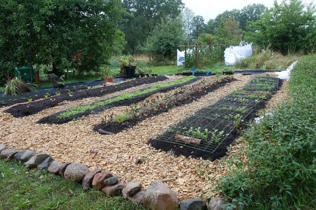 Ett prydligt odlingskvarter med flis i gångarna och långa raka bäddar med rader av grönsaker i.