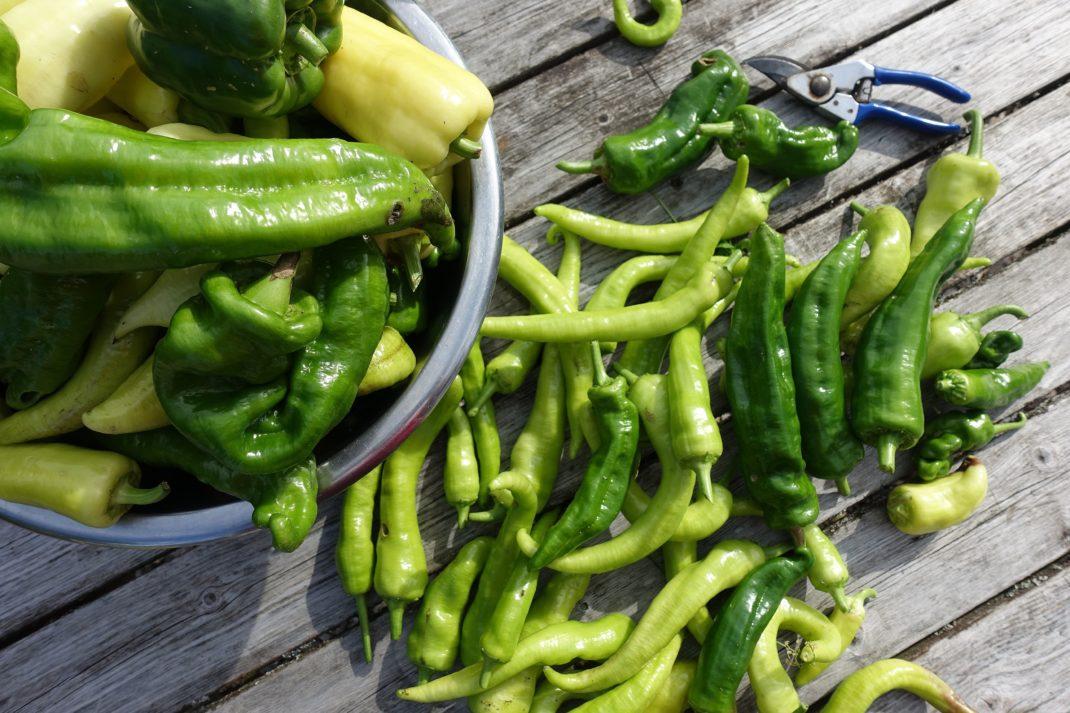 En stor hög med omogna gröna paprikor på ett bord. Ripen bell peppers indoors. A large pile of green bell peppers.