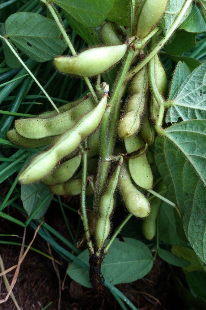 Närbild på bönor som hänger på en planta. Midori giant, close-up of the plant.
