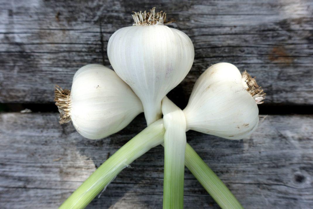 början till en vitlöksfläta med tre vitlökar på ett bord. Starting a garlic braid.