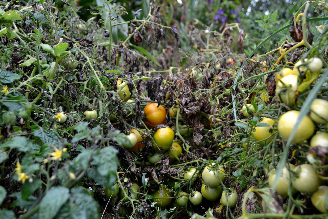Tomater med mörkt brun blas. Late blight, tomatoes with brown leaves.