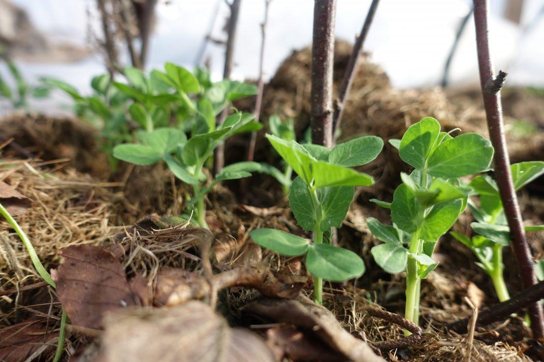 späda små ärtplantor på rad med pinnar som stöd