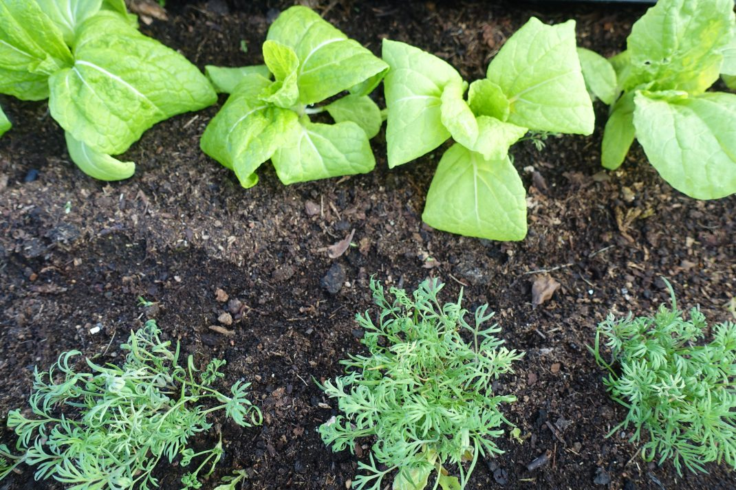 En plantering sedd ovanifrån med ljust gröna plantor och kluster av dill.