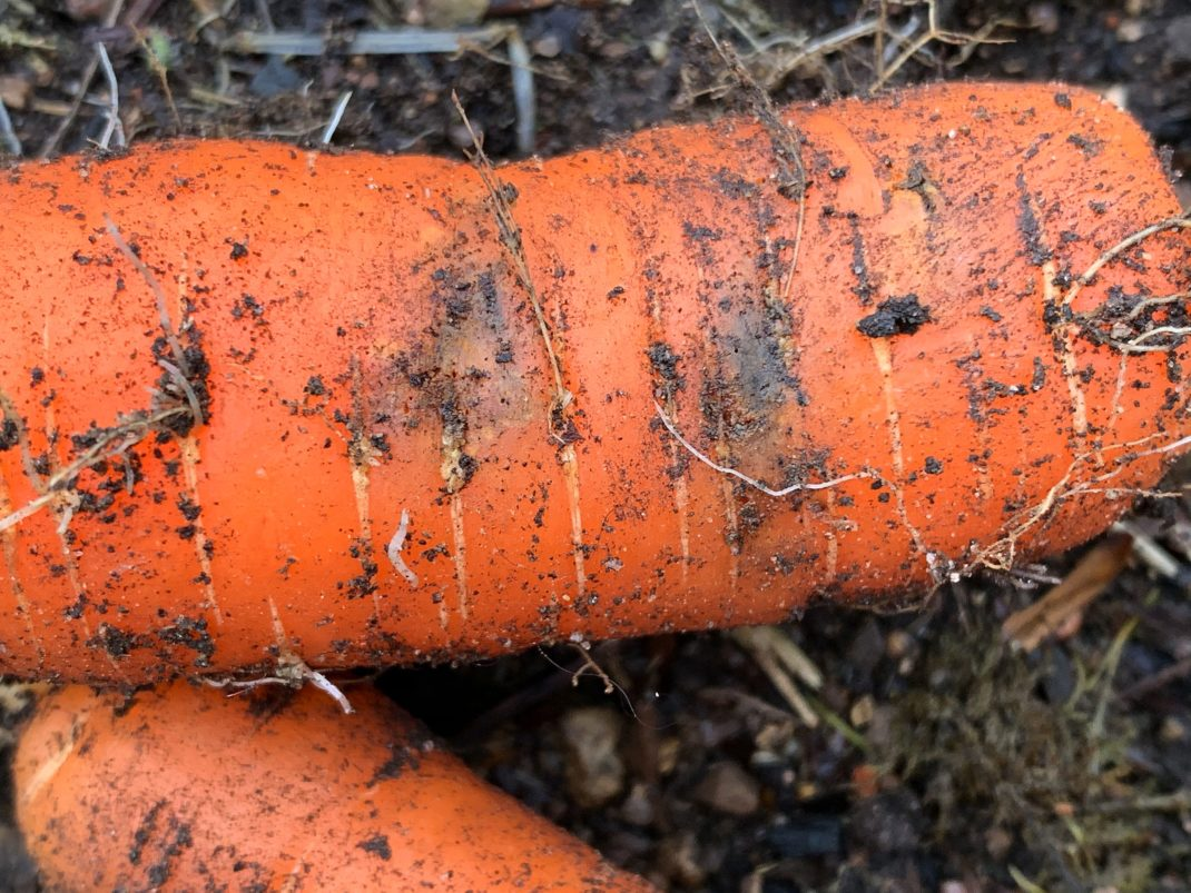 Närbild på angripen morot med bruna fläckar. Carrot fly infestation, close-up of an affected carrot.