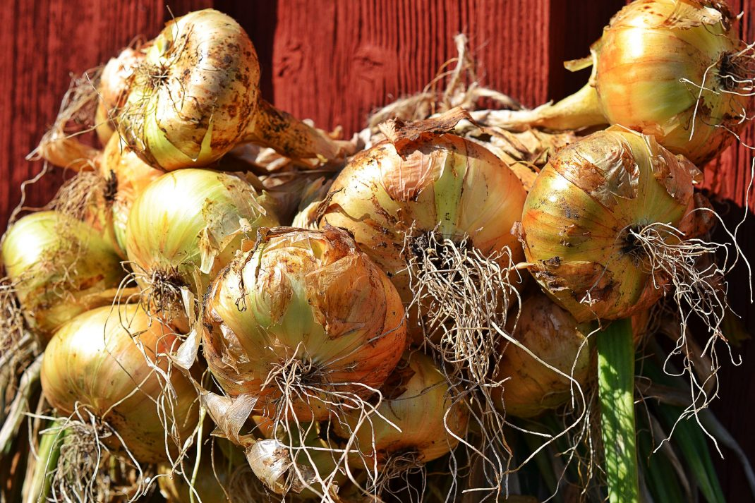 Harvest onion: onions drying on a wall.