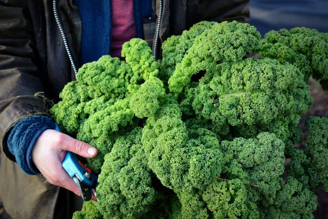 Nyskördade stånd av grönkål till julbordets långkål. Cabbage varieties, newly harvested kale.