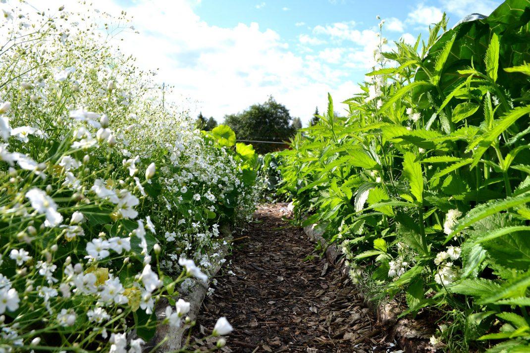 En gång mellan två välfyllda odlingsbäddar. A path between my two flourishing garden beds