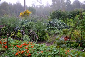 En överblick över en dimmig, prunkande köksträdgård med blommor i orange och gult.