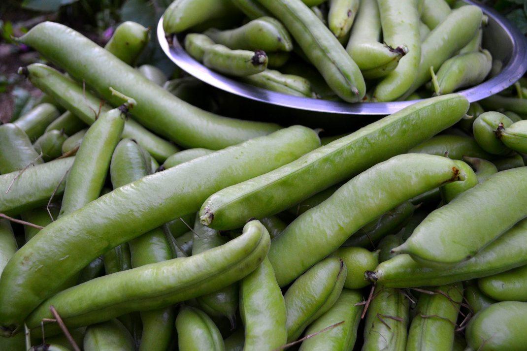 Skördade baljor av bondbönor. Harvested fava beans