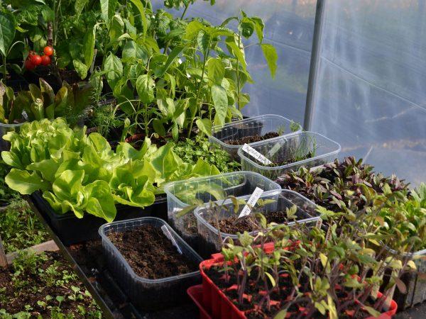 Ett stort bord med sådder och småplantor i tunnelväxthuset.