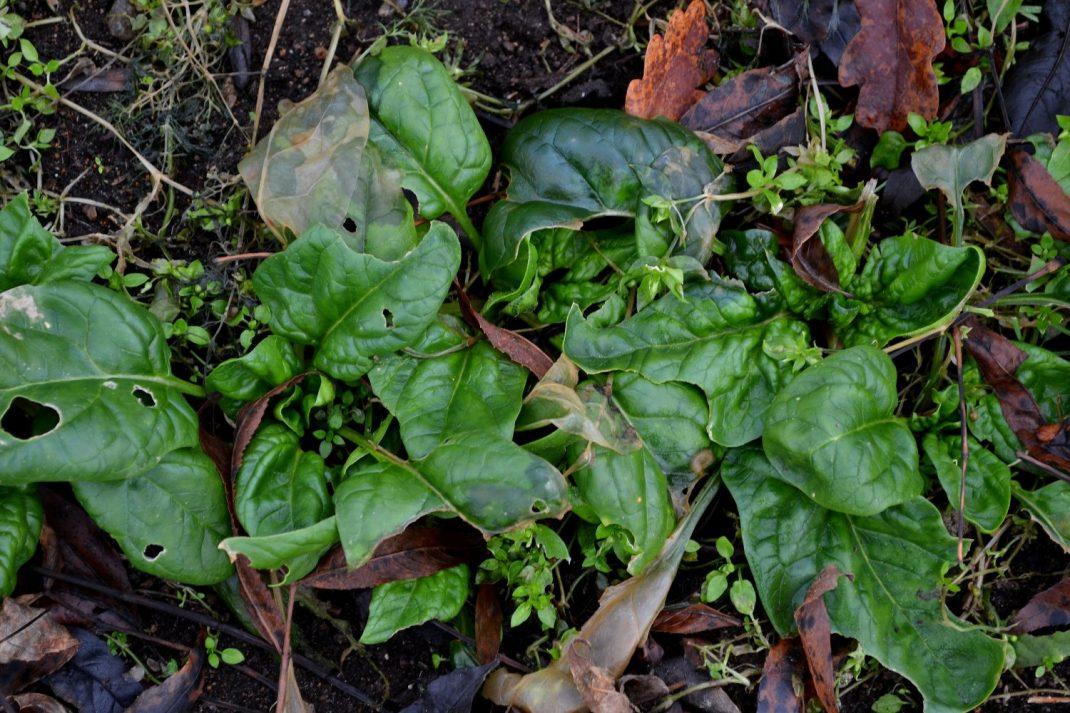 Spenatplantor på friland. Transplanting spinach, spinach in my beds outside.