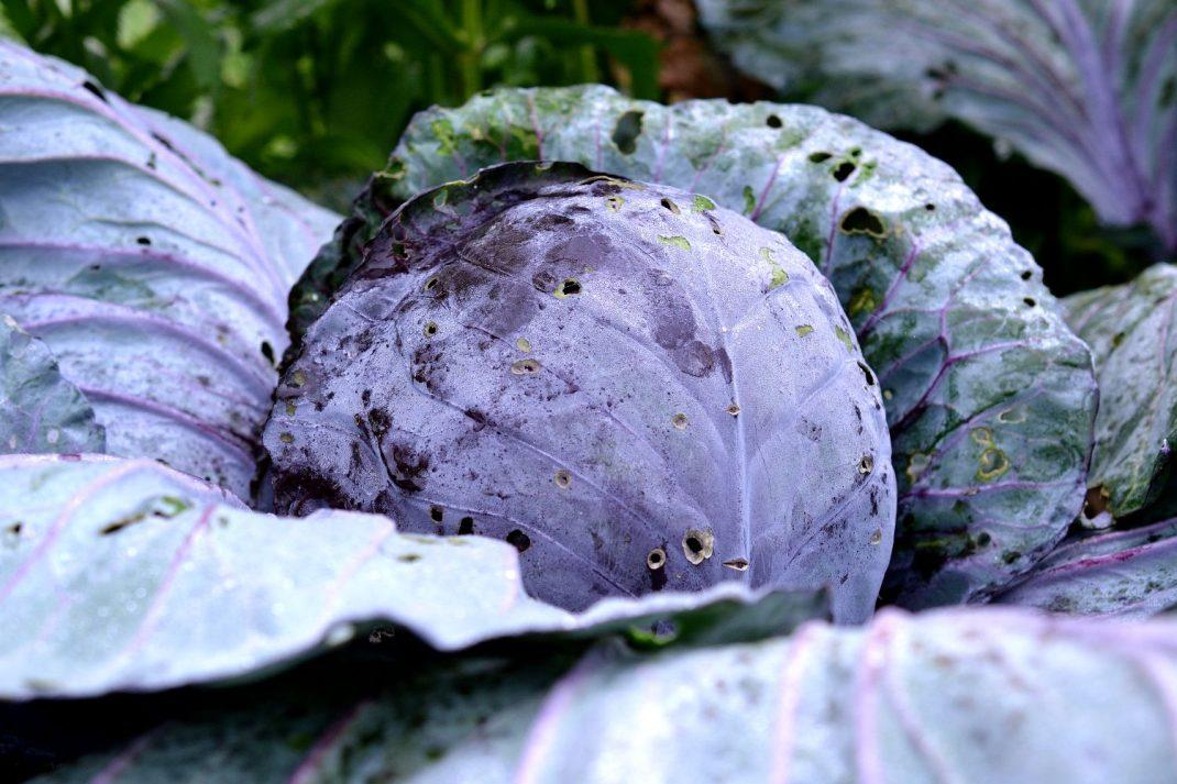 En rödkål fotograferad ute i trädgårdslandet. Cabbage varieties, red cabbage in my garden