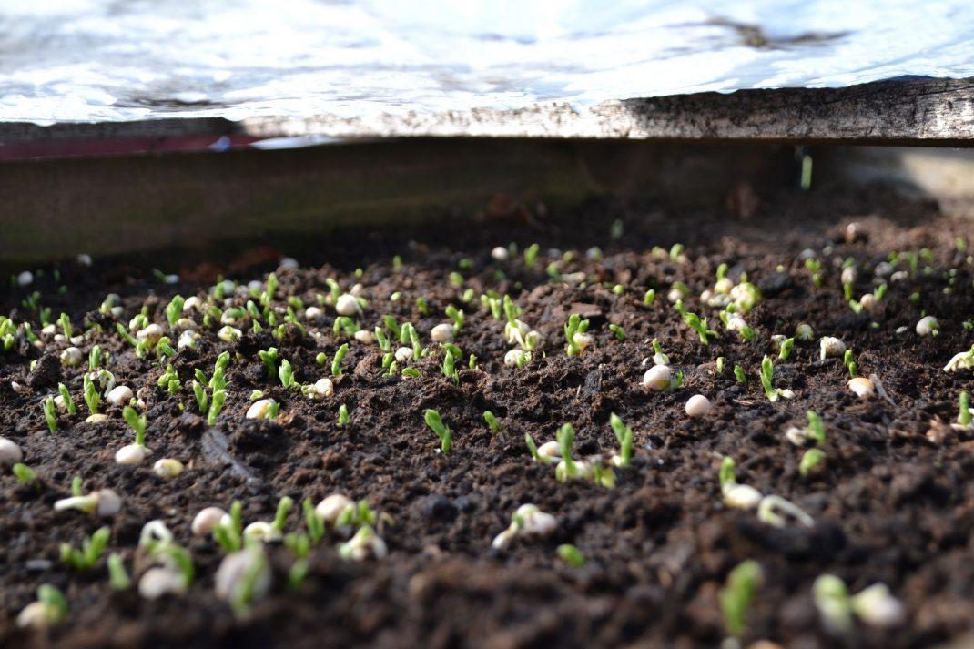 Nyss grodda ärter på jorden i en pallkrage. Newly sown peas in a pallet collar.