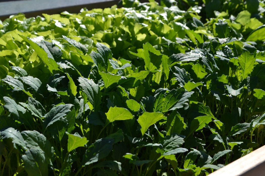 En grön matta av olika bladgrönsaker. Plenty of leafy greens.