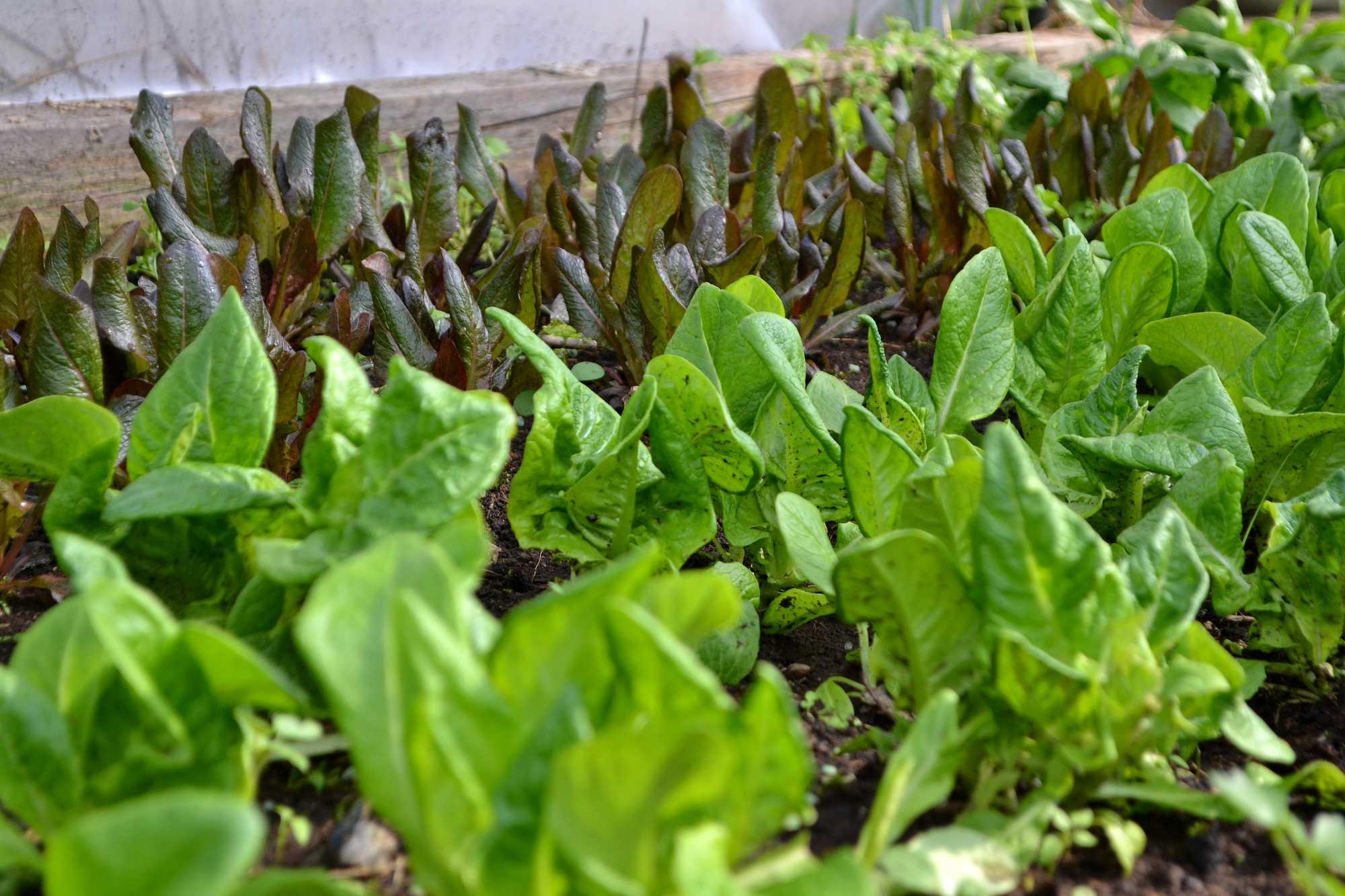 Små sallatsplantor som ännu inte knutit sig. Overwintering lettuce.