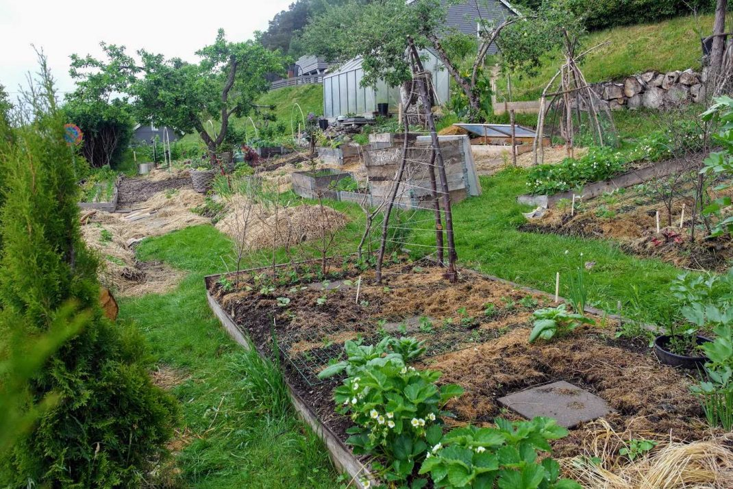 En köksträdgård med täckodlade bäddar. Sourdough slug repellent, mulched beds.