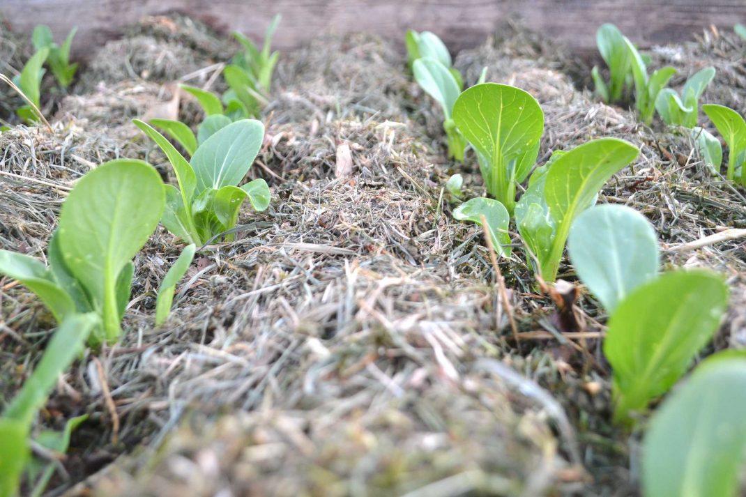 Närbild på små plantor av pak choi. Baby bok choy, close-up.