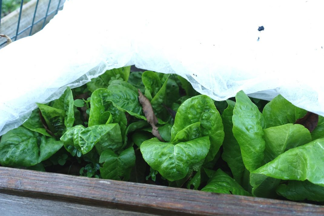 Sallat under fiberduk i pallkrage. Lettuce underneath my plant cover in a pallet collar bed.