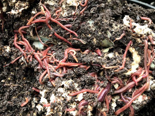 Halvnedbruten kompostjord med mängder av illröda maskar i.
