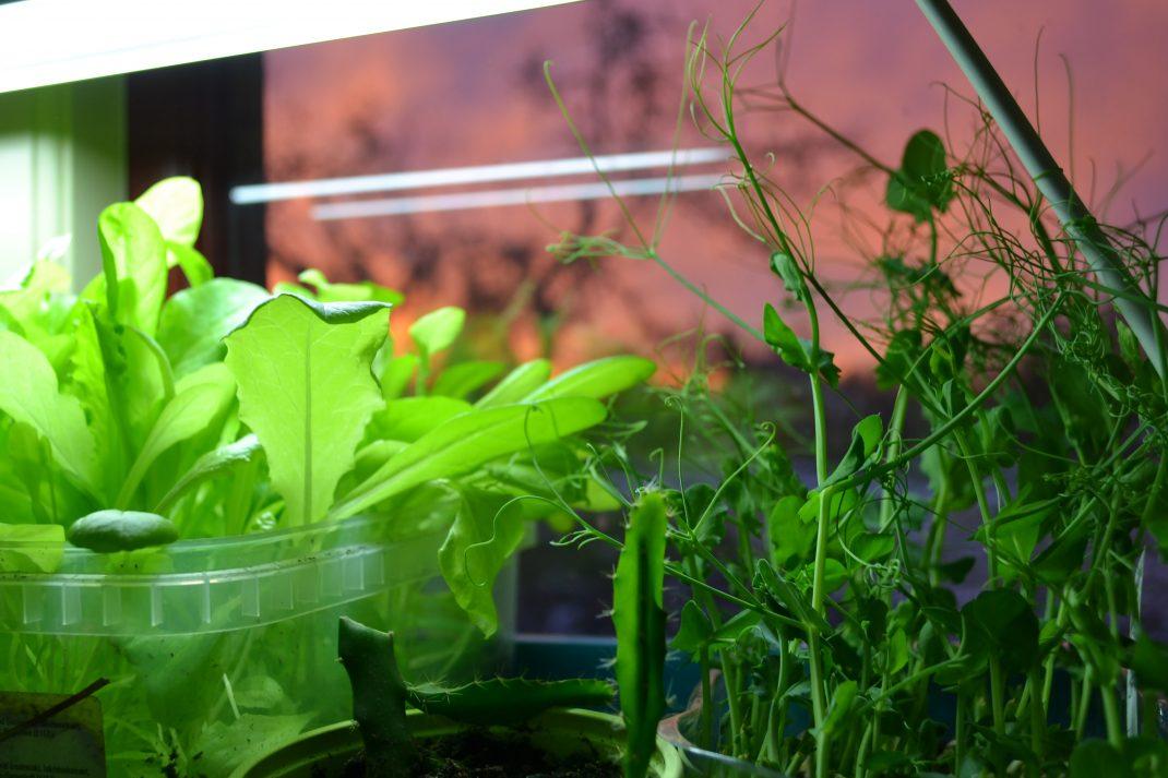 Späda sallatsblad och krispiga ärtskott växer under belysning i ett fönster. Lettue leaves and fresh pea shoots in a window, what I grow indoors.