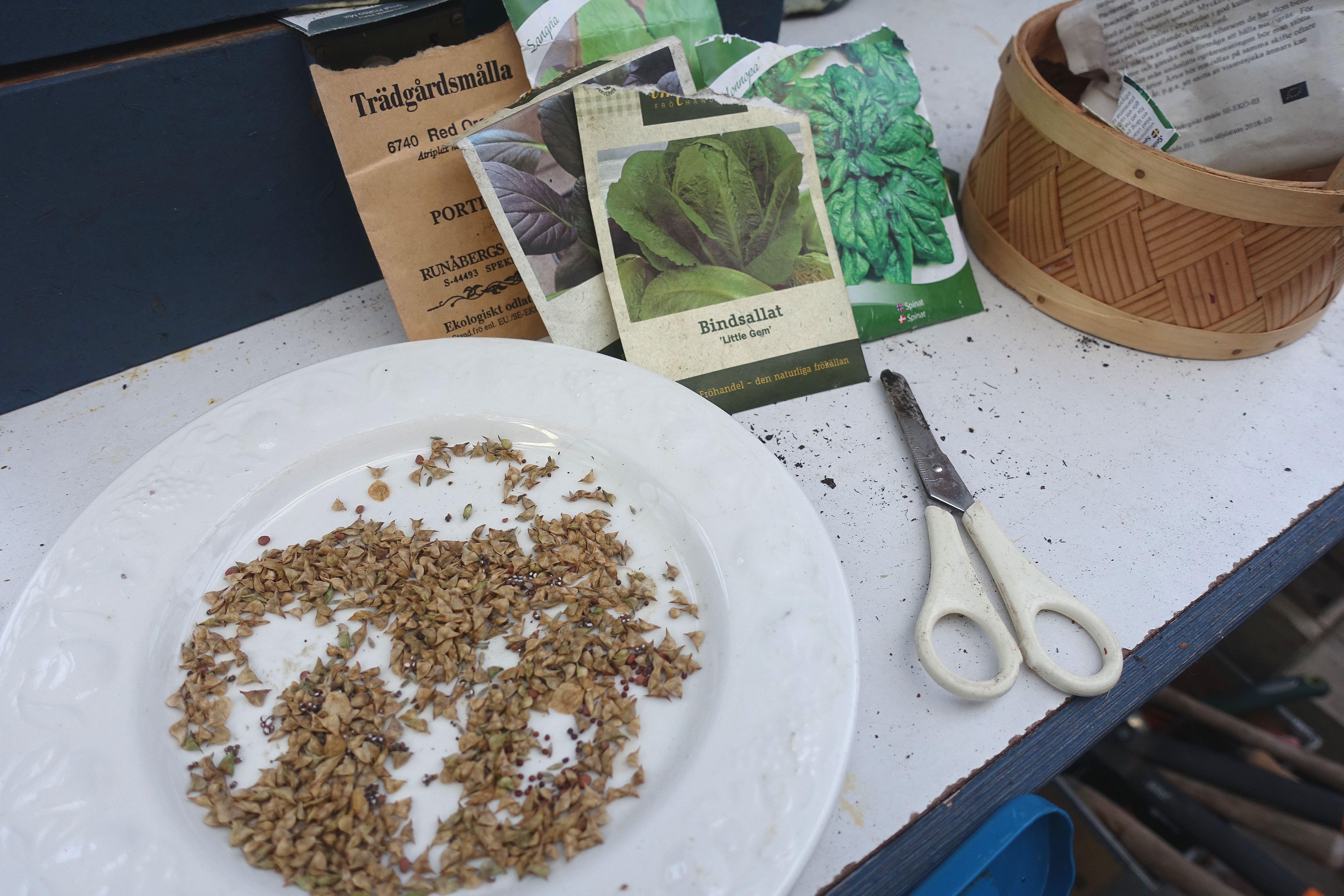 Fröpåsar på en bänk och en tallrik med fröer på. Wintersowing, seedpackets.