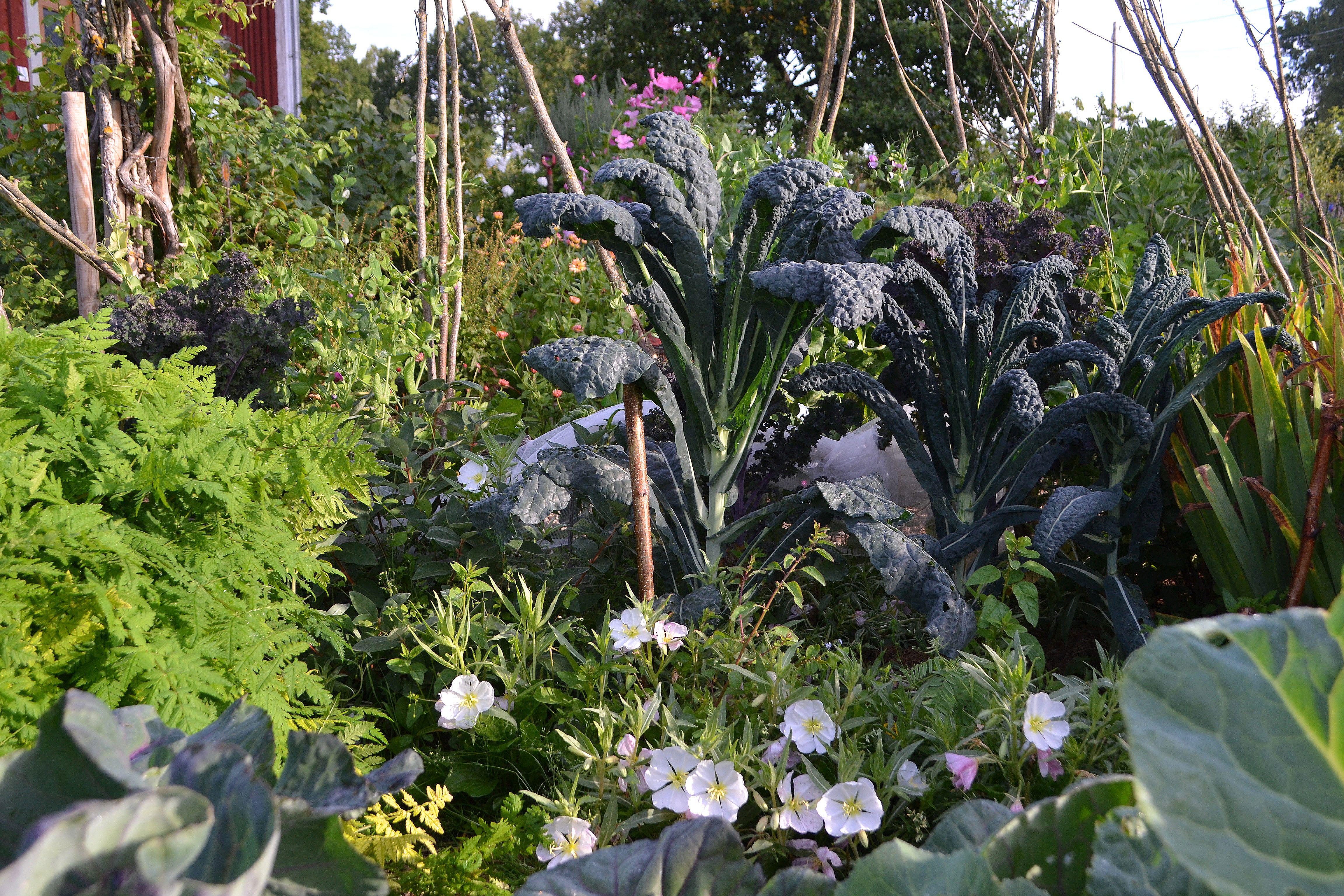 En köksträdgård med många blandade växter, bland annat en hög svartkål. Gardening tips. Kitchen garden with a mix of vegetables, like black kale.