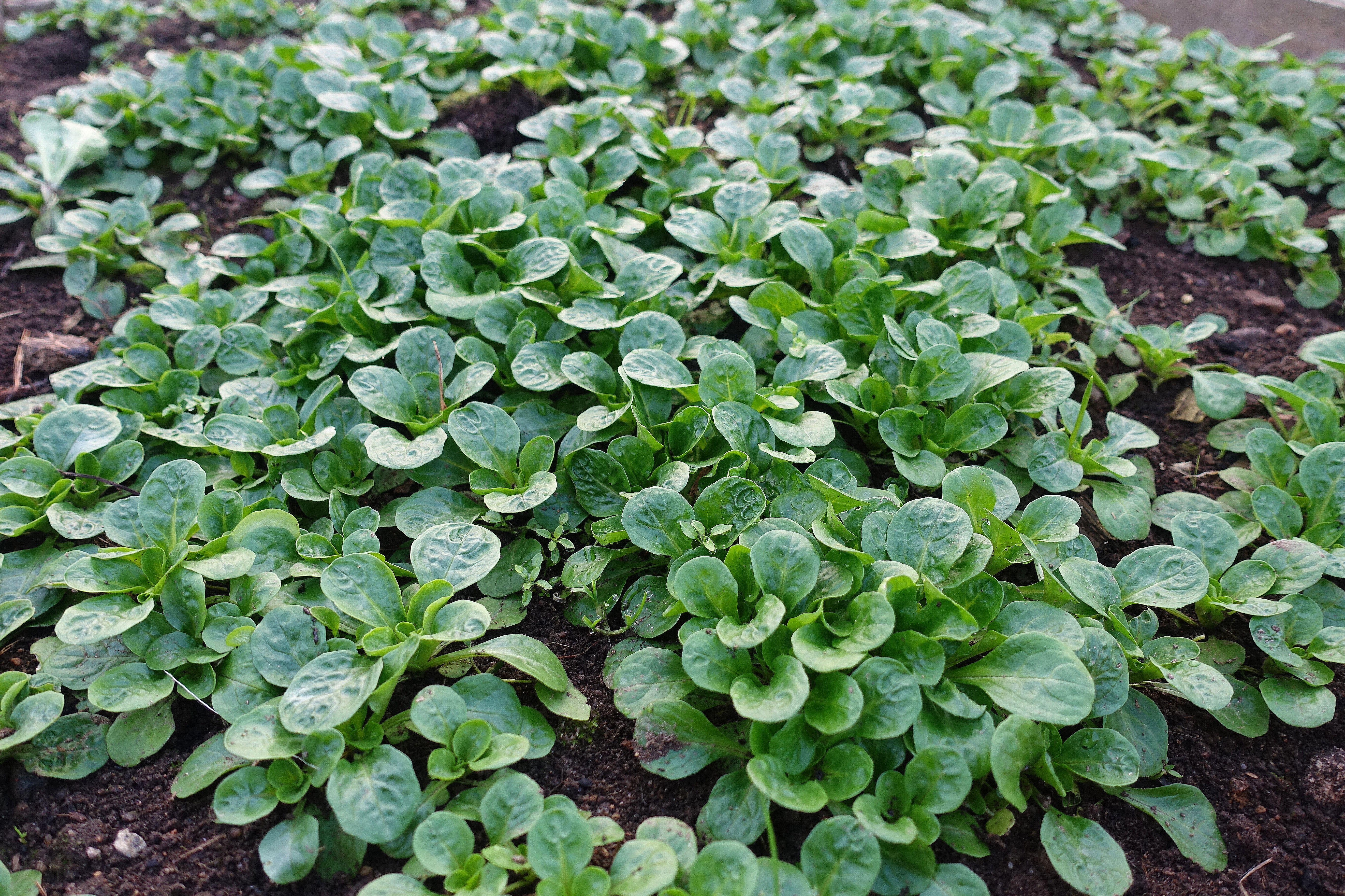 En tät matta av gröna blanka blad.