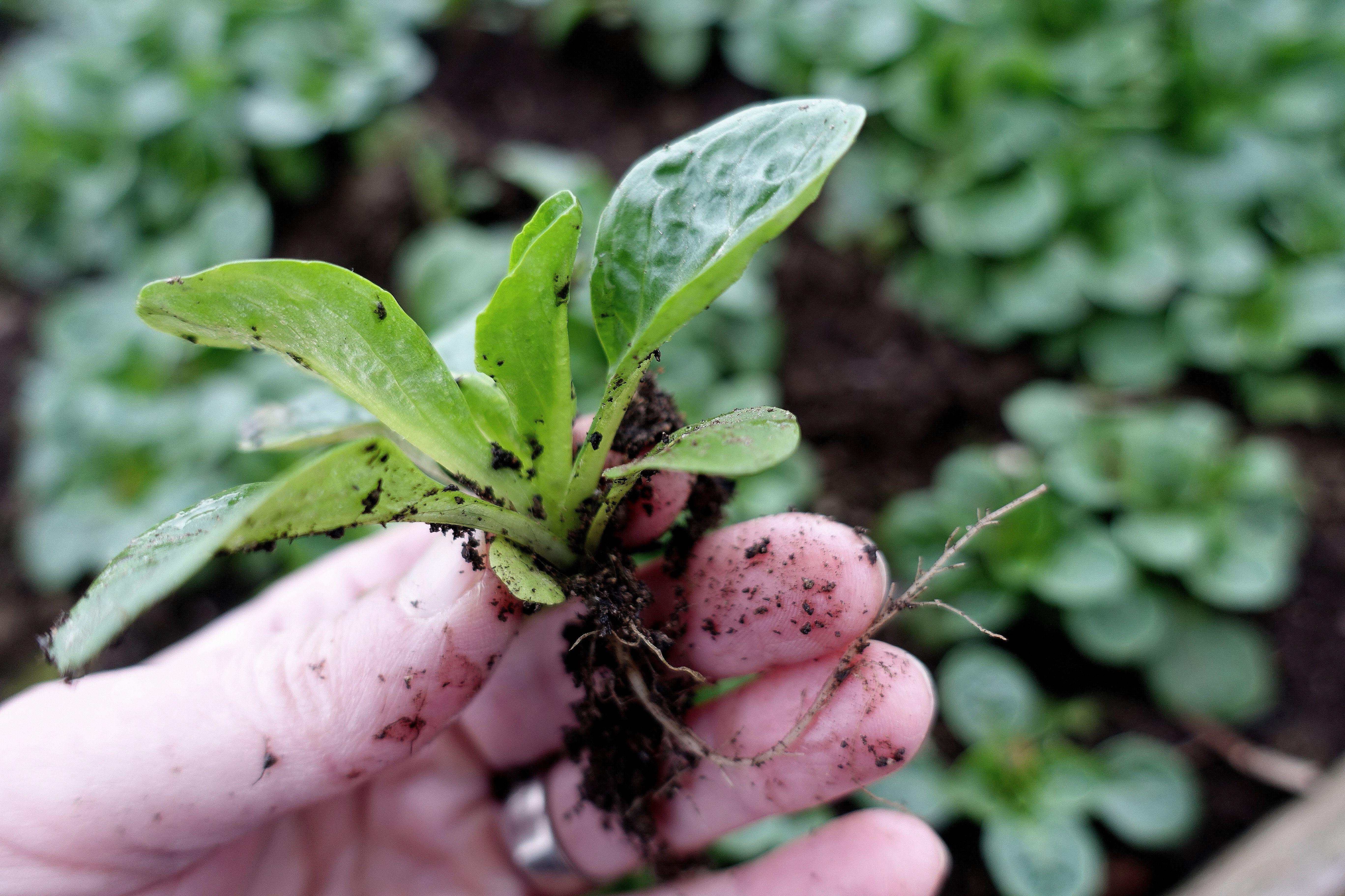 En liten planta av vintersallat i handen.