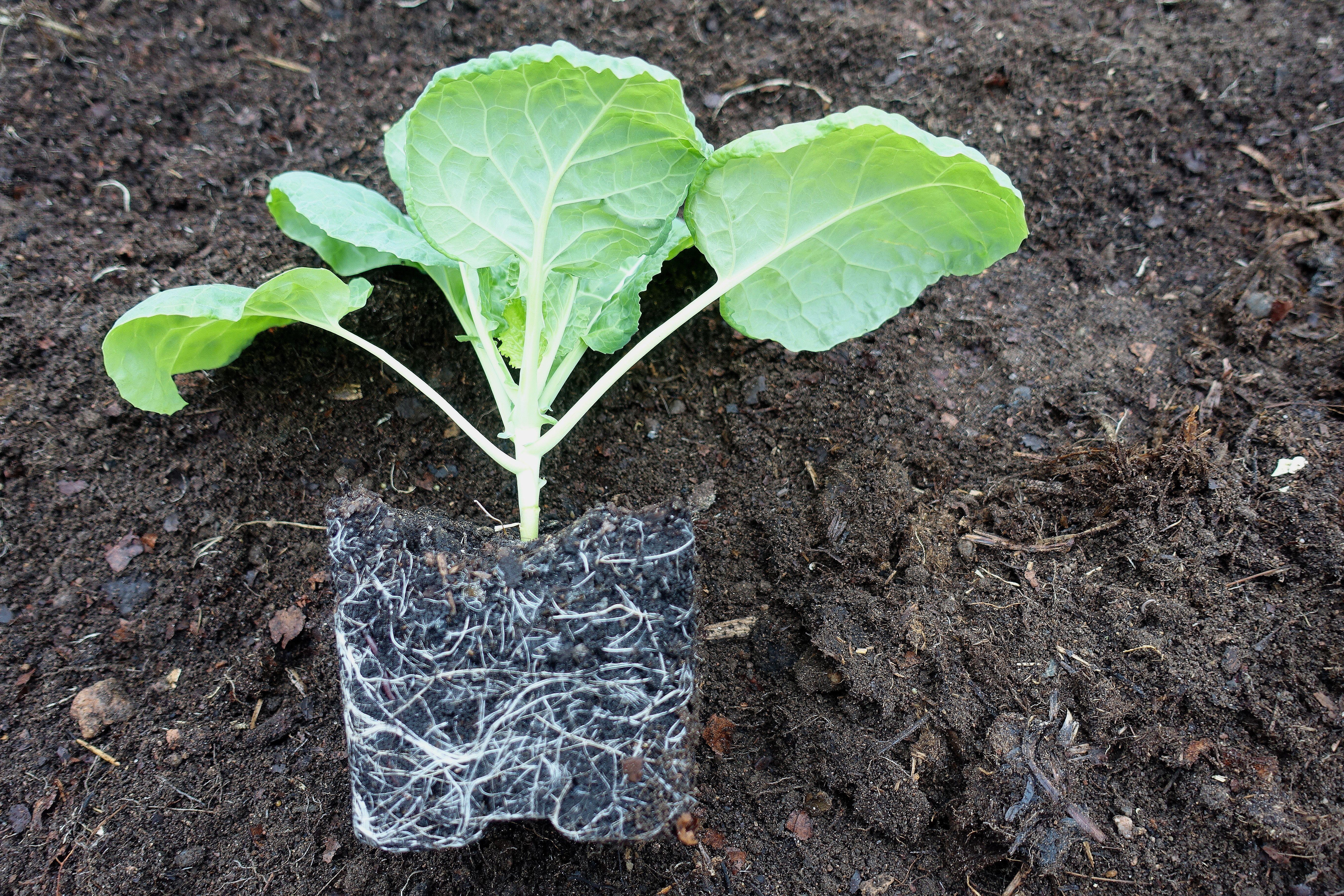 En vacker planta utan kruka, där rotsystemet tydligt syns mot jorden. Vorbote 3, a beautiful plant with visible roots.