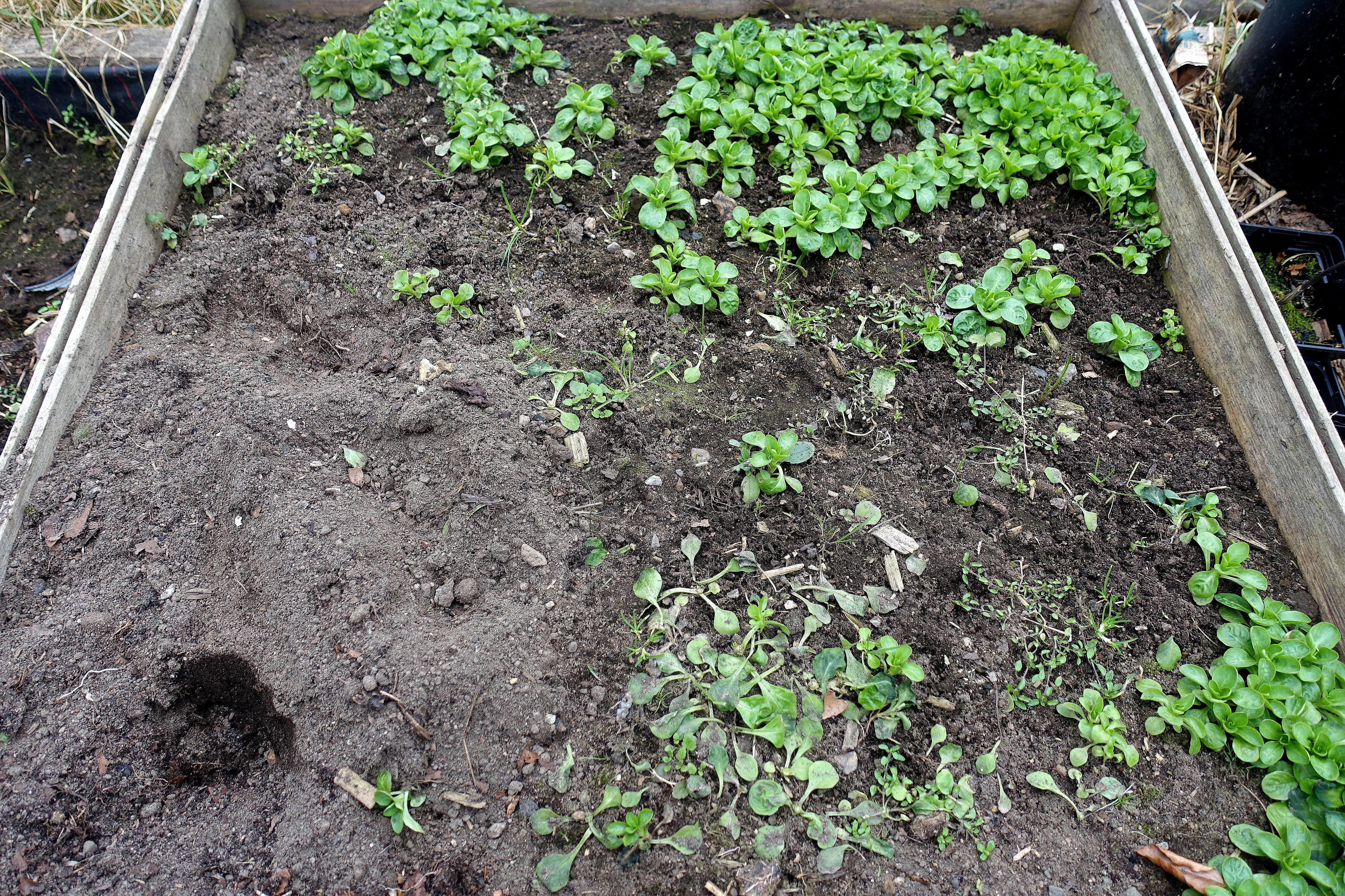 En kvadratmeter jord inom en träram, med några gröna blad som växer i. Vorbote 3, a few green leaves.