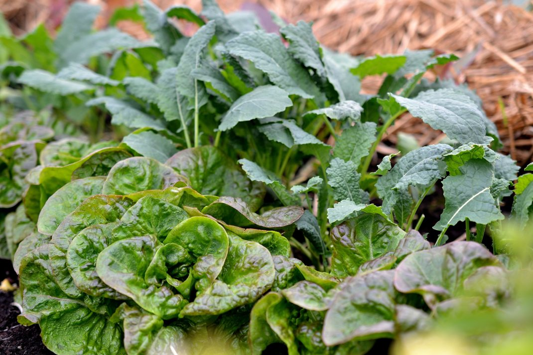 Green and bronxe lettuce with round leaves together with black kale.