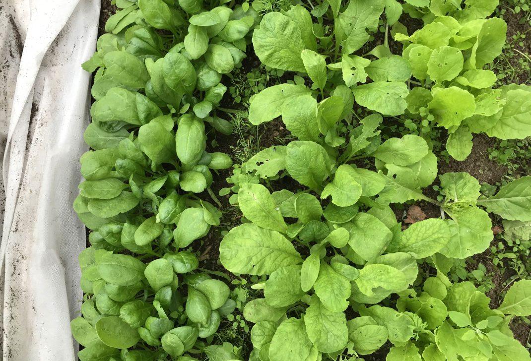 Bild tagen ovanifrån på bladgrönsaker som växer i rader bredvid varandra. Picture from above, leafy greens growing in rows next to eachother.