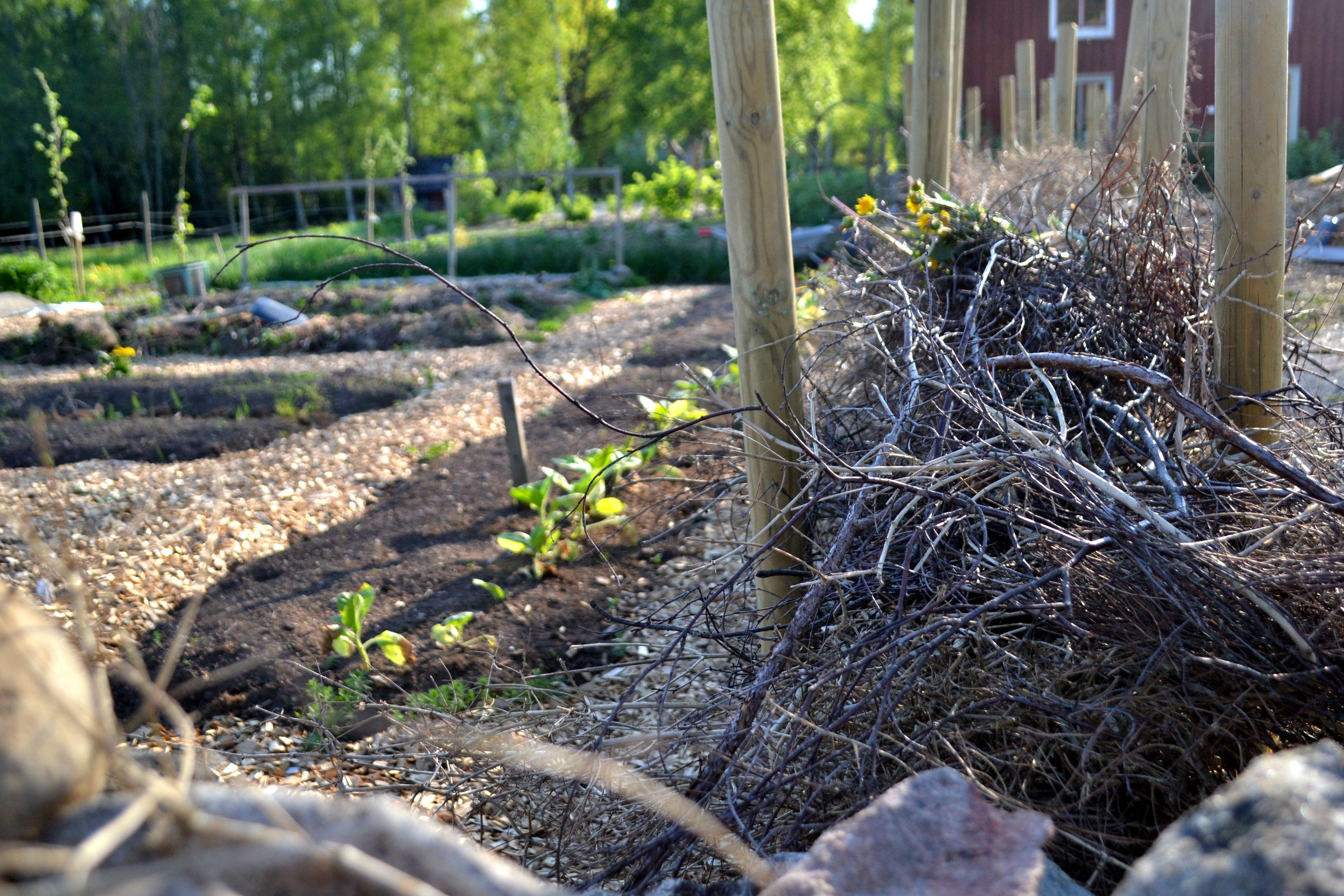 Ett staket av ris tittar upp över stenmuren utanför köksträdgården. My brushwood fence in the kitchen garden.