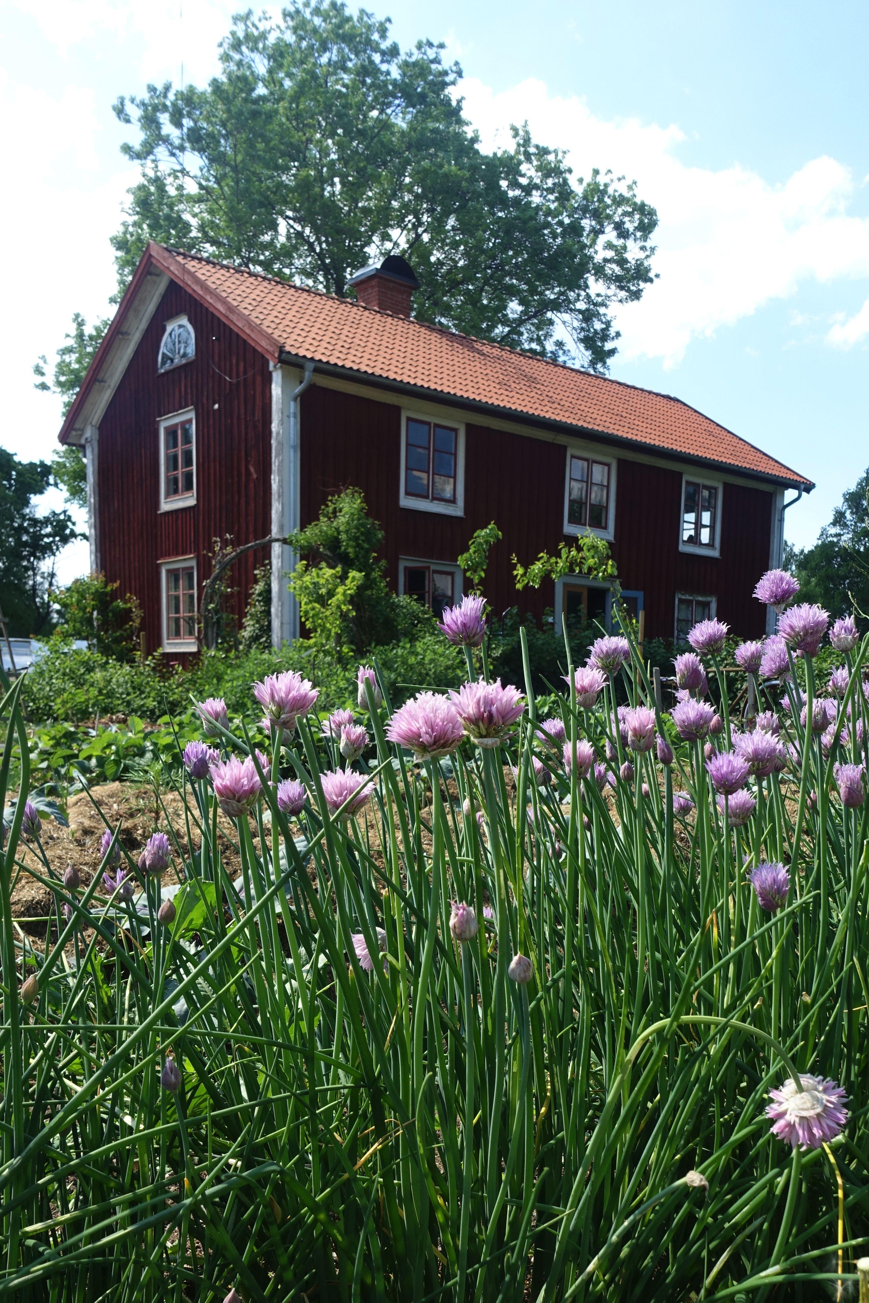 Bostadshuset skymtar i bakgrunden bakom höga blommande gräslöksplantor. My house, just behind my chives.