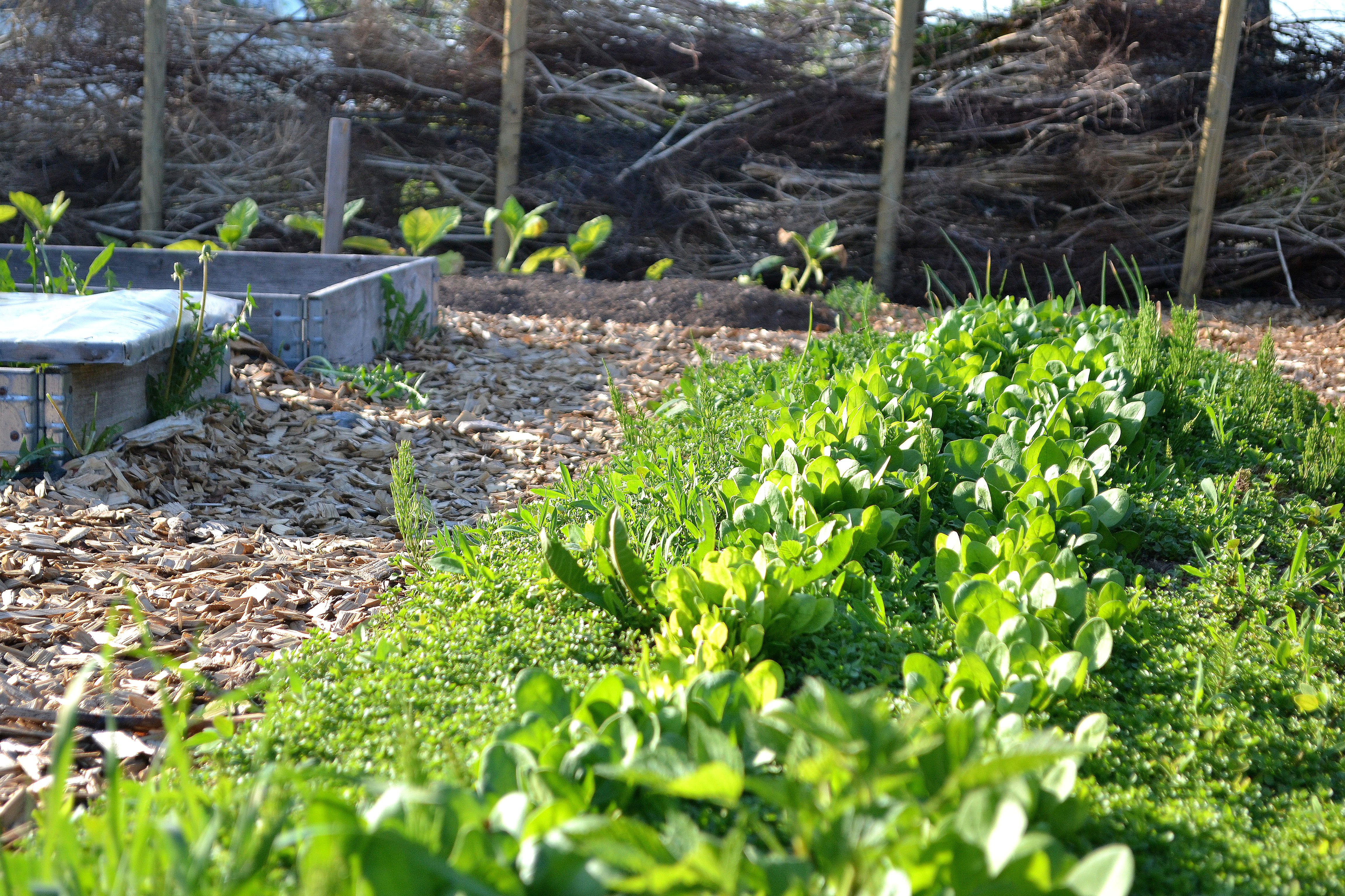 Odlingen med det nya staketet i bakgrunden. My growing bed with the brushwood fence in the background.