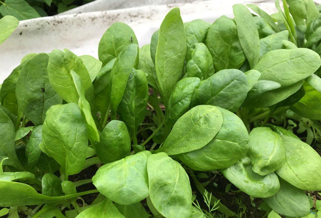 Närbild på frodiga gröna spenatblad. Close-up on spinach leaves