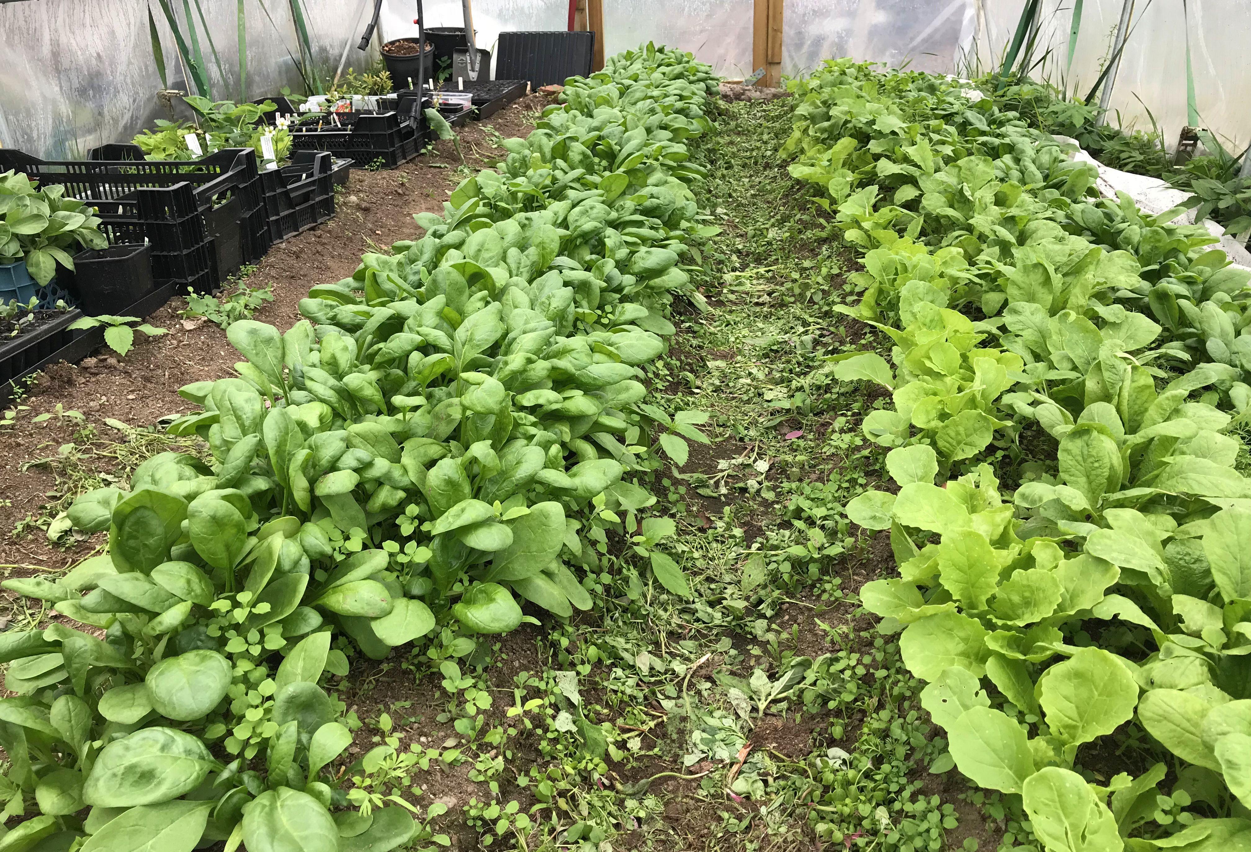Täta mattor av röna blad i långa rader. Leafy greens in long rows.
