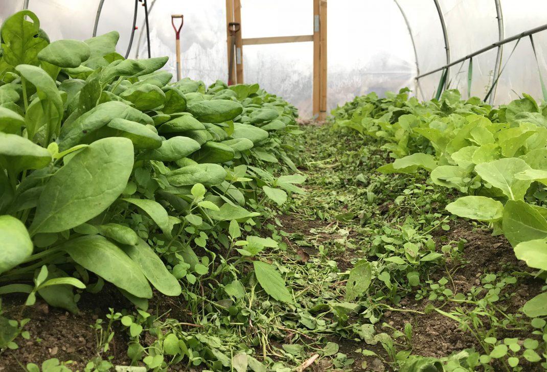 Bild tagen i lågt perspektiv på bladgrönsaker längs kanterna och en gång i mitten. Picture of leafy greens along the edges, and in a row in the middle.