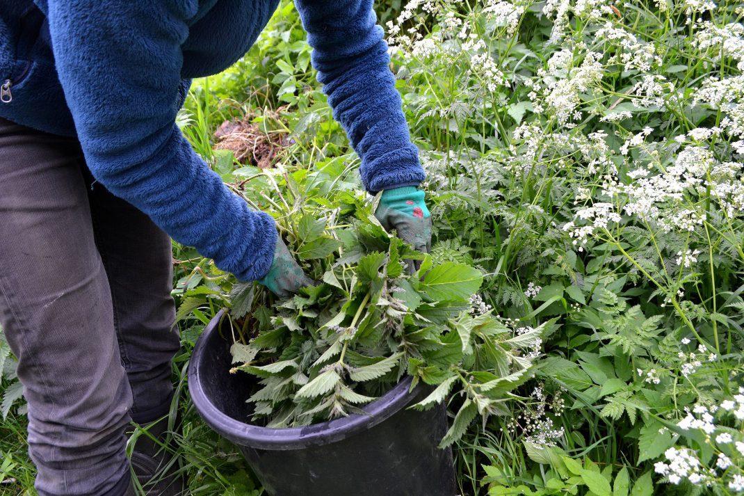 Sara tar stora buntar av brännässlor och lägger i en hink. Organic fertilizers, Sara is making nettle water.