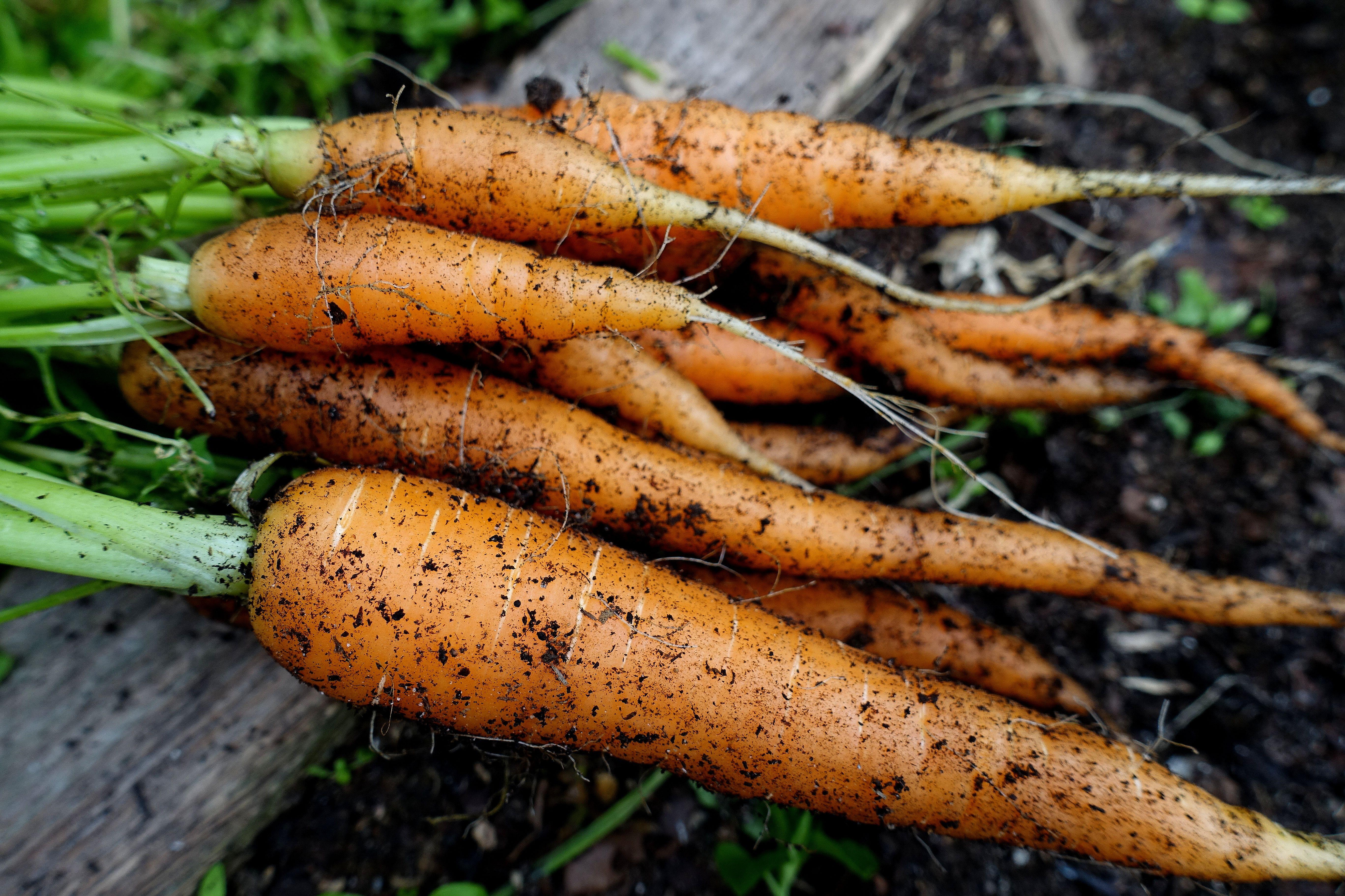 Ett knippe med nyskördade orangea morötter. Harvesting carrots, a bunch of newly harvested orange carrots.