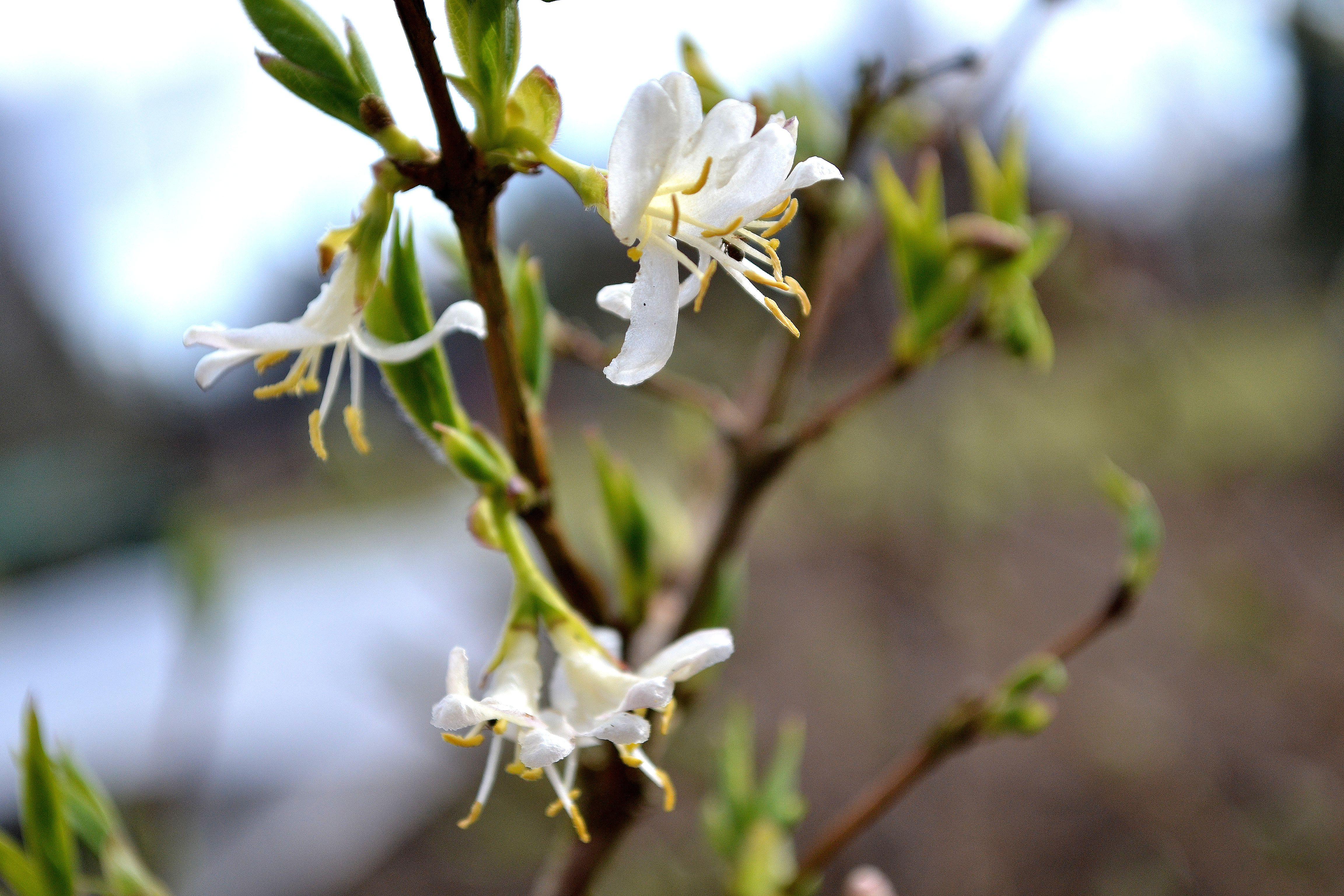 En vaniljvit blomma på nästan bar kvist. Growing honeyberries, a white flower on the bush.