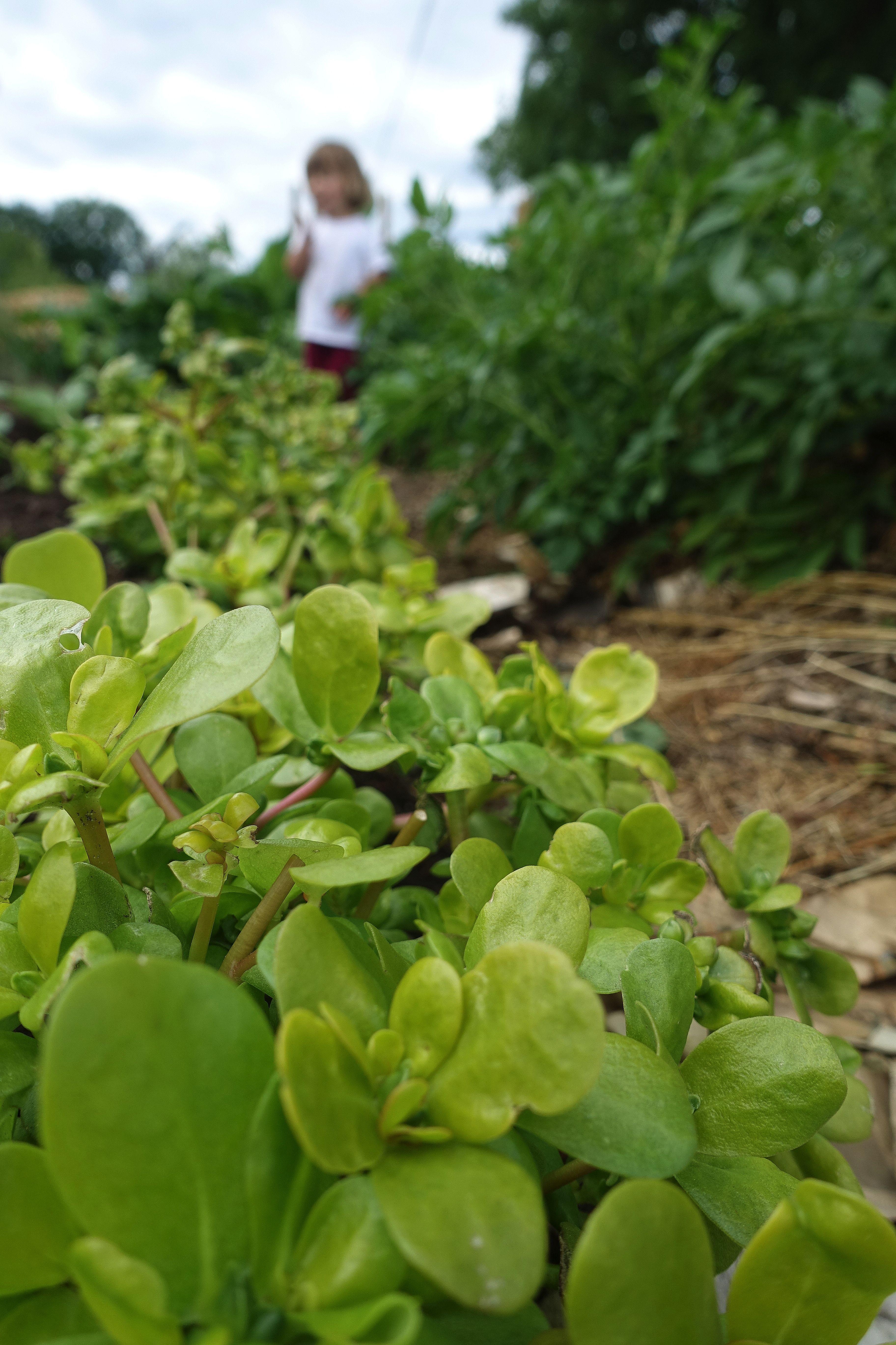 En lång rad med ljust gulgröna blad. Gardening with kids, a long row of bright yellow plants.